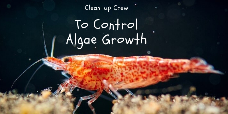 Algae Eaters For Your Aquarium