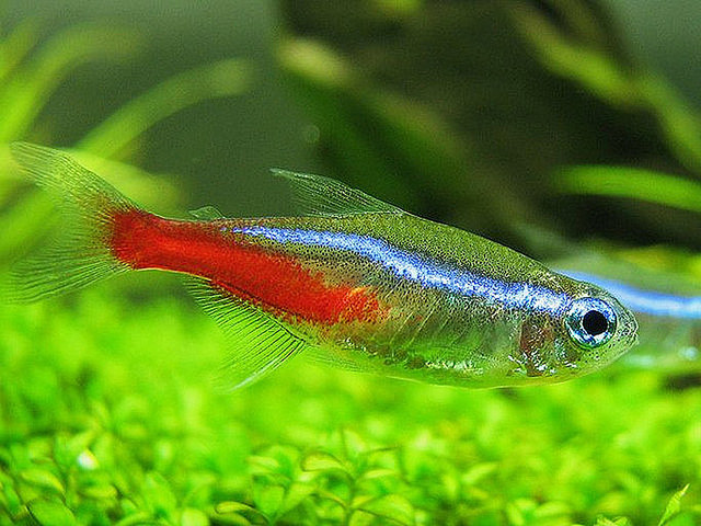 Neon Tetra Complete Care Guide 1