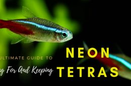 Neon Tetra Complete Care Guide