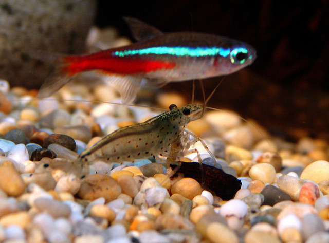 Neon Tetra Complete Care Guide 5