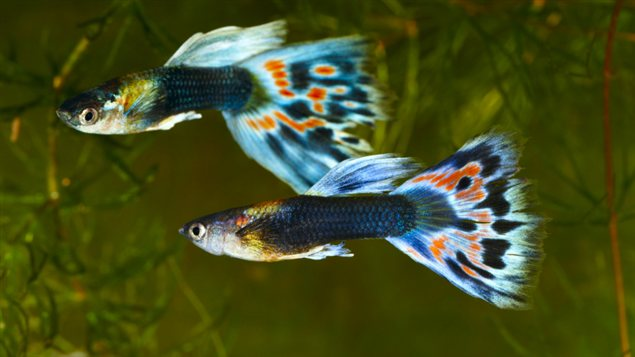 The Complete Guppy Care Guide 1