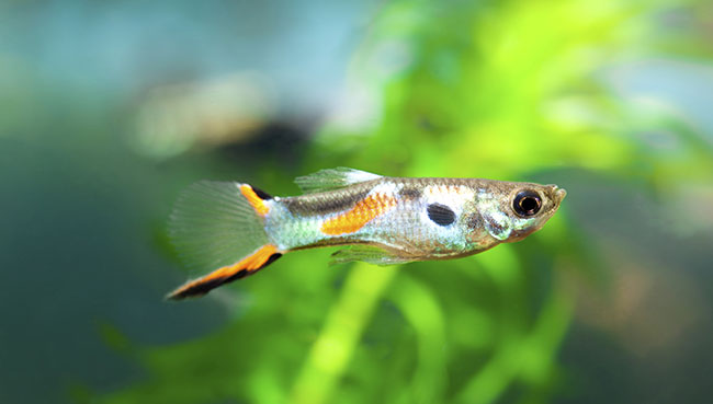 The Complete Guppy Care Guide 2