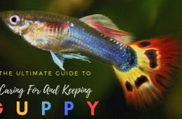 The Complete Guppy Care Guide