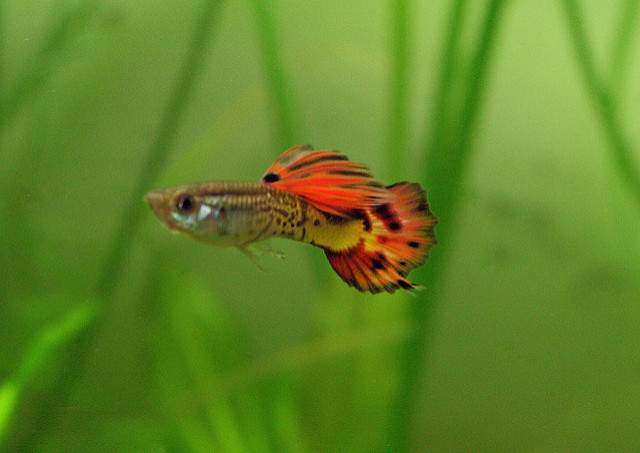The Complete Guppy Care Guide 8