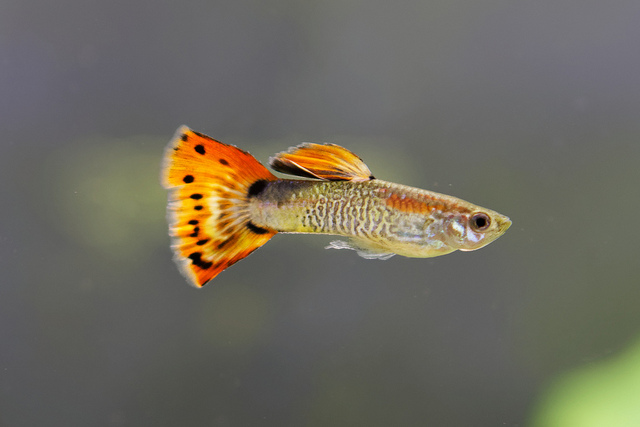 The Complete Guppy Care Guide 9