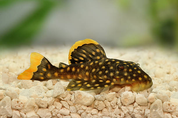 The Complete Plecostomus Care Guide 1