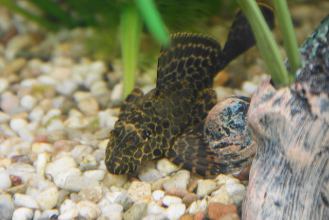 The Complete Plecostomus Care Guide 10