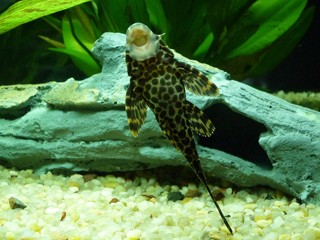 The Complete Plecostomus Care Guide 6