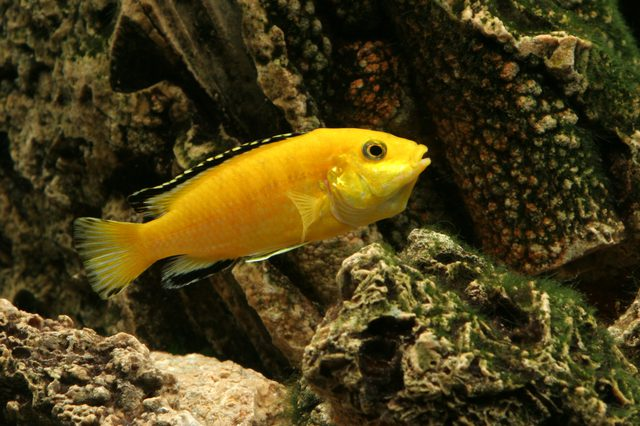 The Ultimate African Cichlid Guide 1