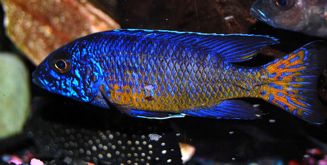The Ultimate African Cichlid Guide 10
