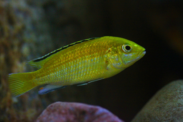 The Ultimate African Cichlid Guide 3