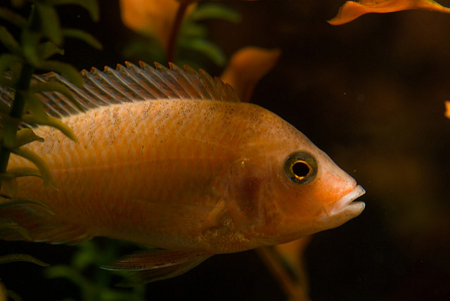 The Ultimate African Cichlid Guide 6