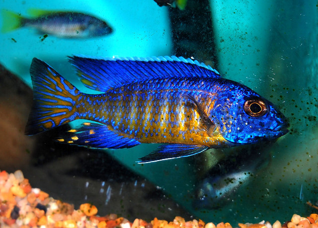 The Ultimate African Cichlid Guide 7