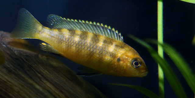The Ultimate African Cichlid Guide 8