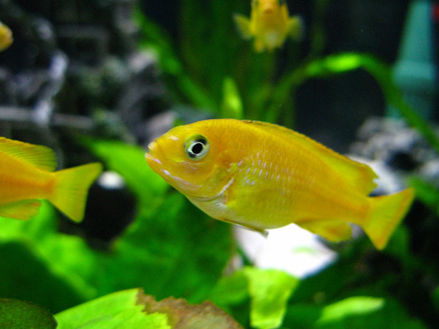 The Ultimate African Cichlid Guide 9