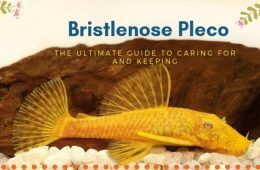 The Ultimate Guide To Caring For And Keeping Bristlenose Pleco