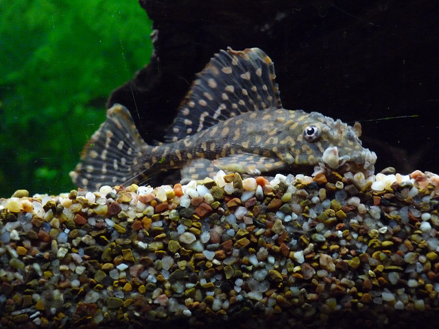 The Ultimate Guide To Caring For And Keeping Bristlenose Pleco 7