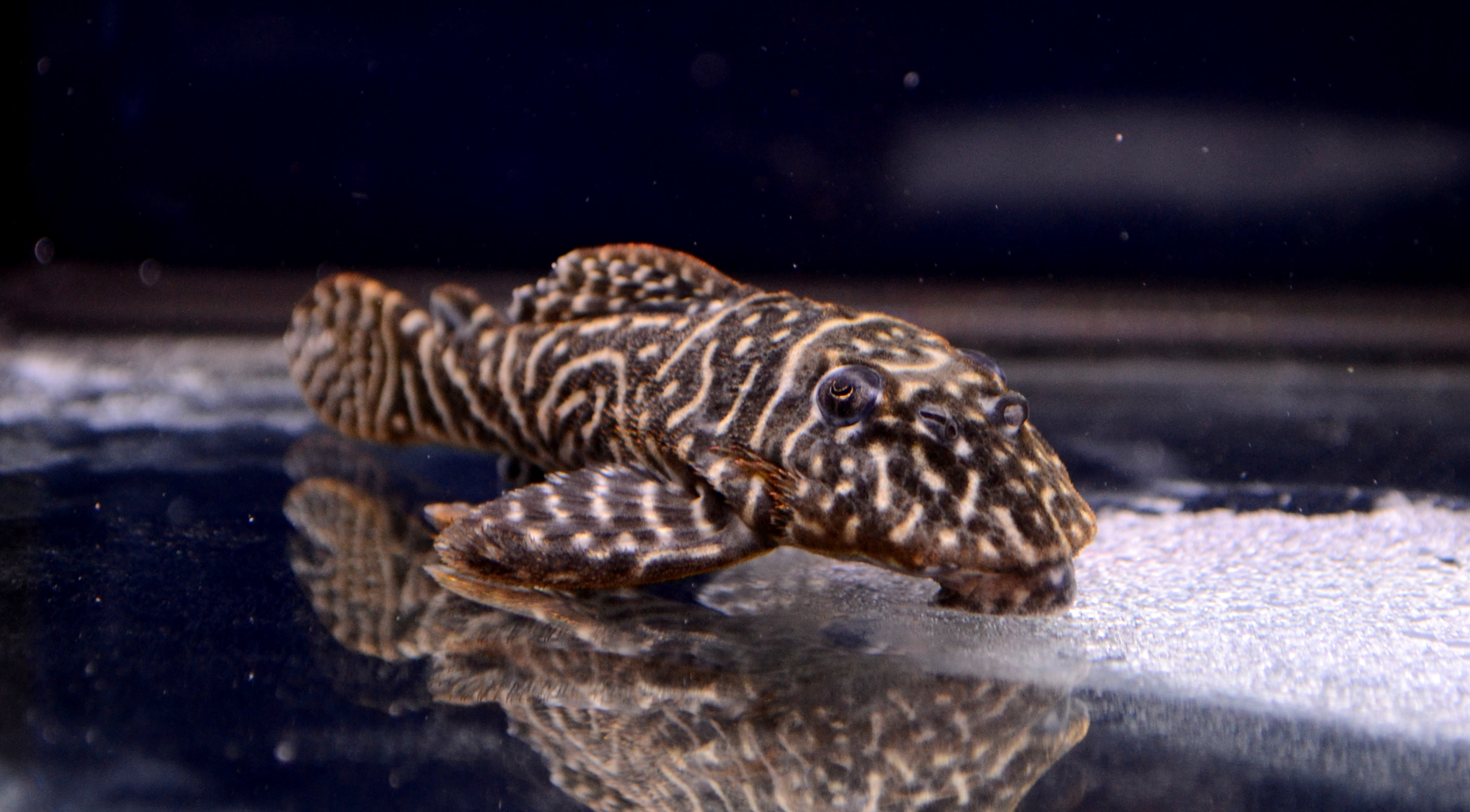 Tiger Plecos Fish