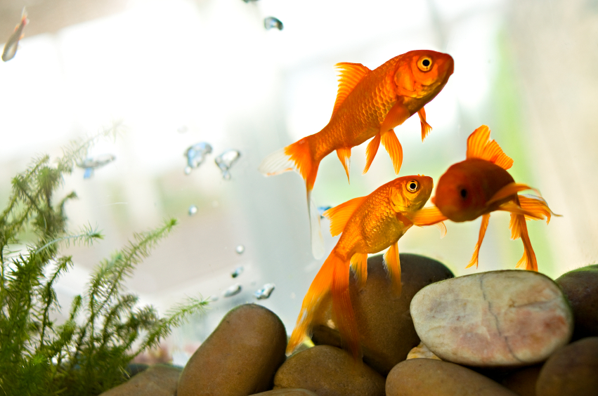 Best Goldfish Tanks For New Fish Keepers