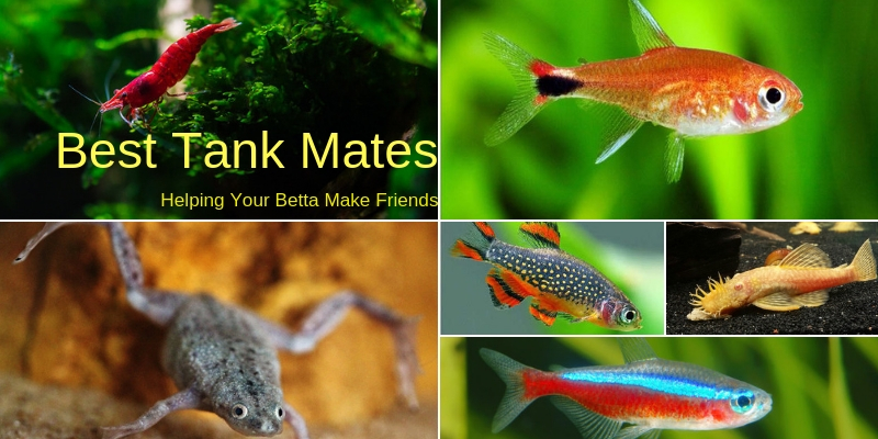 Best Tank Mates for a Betta Fish