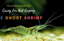 Guide To Caring For And Keeping The Ghost Shrimp