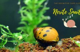 Guide To Caring For And Keeping The Nerite Snail
