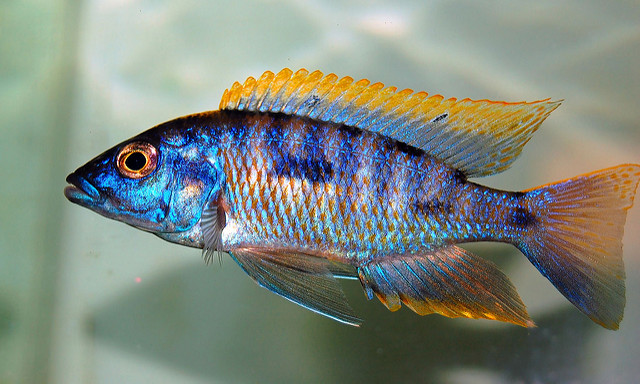Guide To Caring For And Keeping The Peacock Cichlid 1