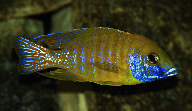 Guide To Caring For And Keeping The Peacock Cichlid 2