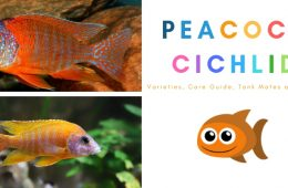 Guide To Caring For And Keeping The Peacock Cichlid