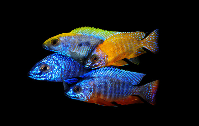 Guide To Caring For And Keeping The Peacock Cichlid 7