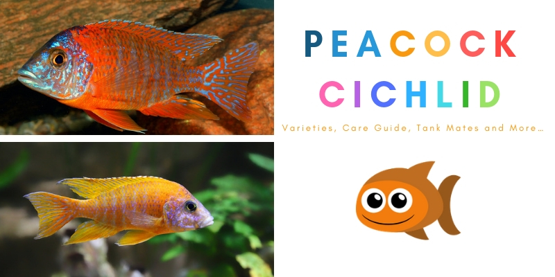 The Ultimate Guide To Caring For And Keeping The Peacock Cichlid