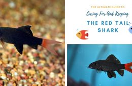 Guide To Caring For And Keeping The Red Tail Shark 2