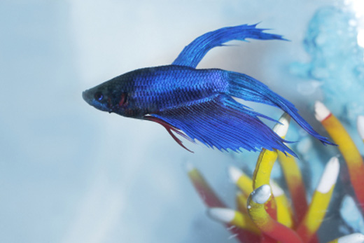 How Long Do Betta Fish Live 4