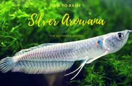 How to Raise a Silver Arowana
