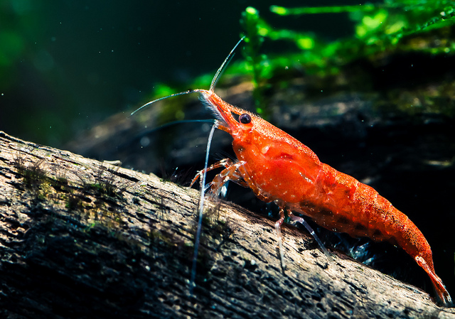 The Ultimate Guide To Caring For And Keeping the Cherry Shrimp 11