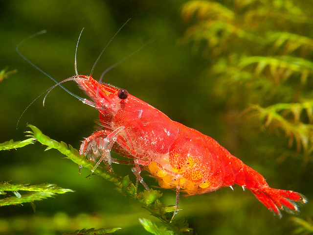 The Ultimate Guide To Caring For And Keeping the Cherry Shrimp 3