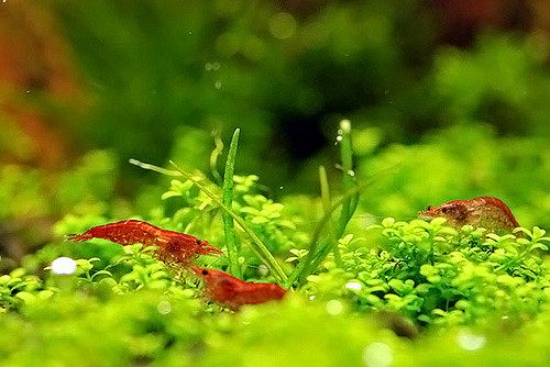 The Ultimate Guide To Caring For And Keeping the Cherry Shrimp 5