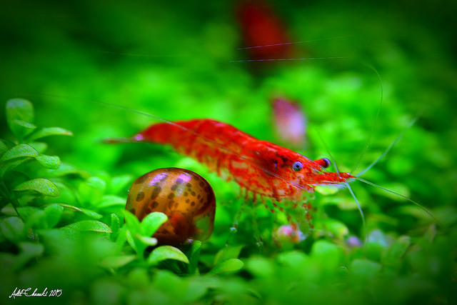 The Ultimate Guide To Caring For And Keeping the Cherry Shrimp 6