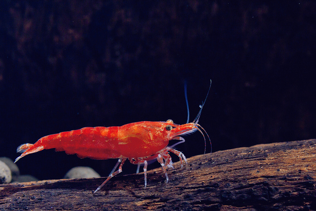 The Ultimate Guide To Caring For And Keeping the Cherry Shrimp 9