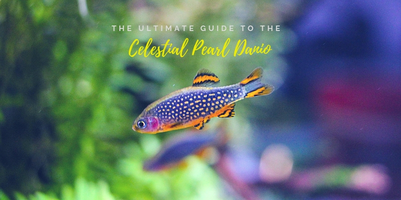 The Ultimate Guide To The Celestial Pearl Danio
