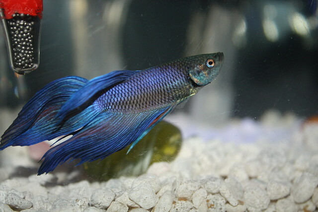 What Kind of Water Will Help My Betta Fish 1