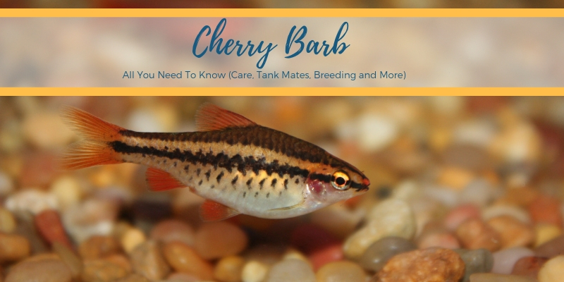 Cherry Barb intro