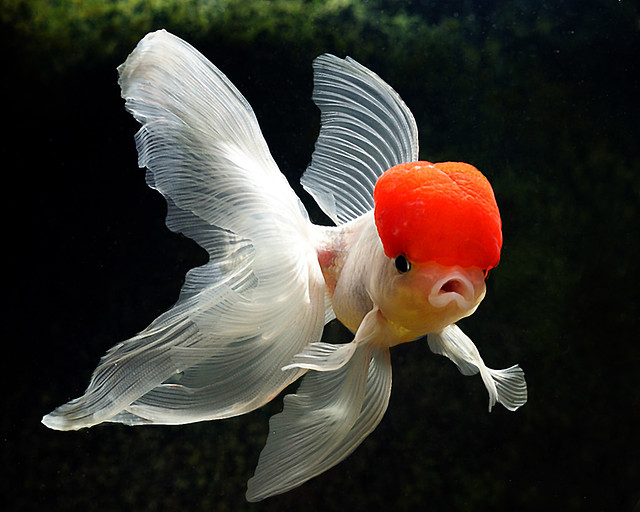 Fancy Goldfish 2