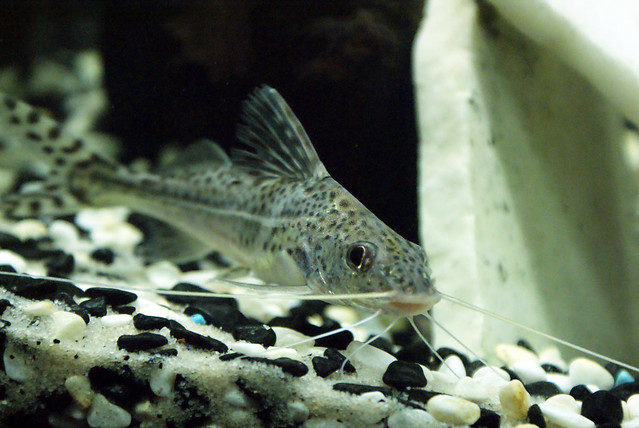 Pictus Catfish 3
