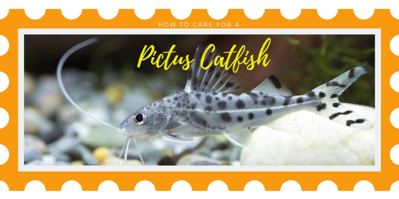 Pictus Catfish 6