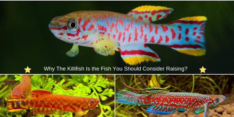 The Killifish