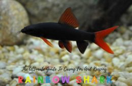 The Ultimate Guide To Caring For And Keeping Rainbow Shark