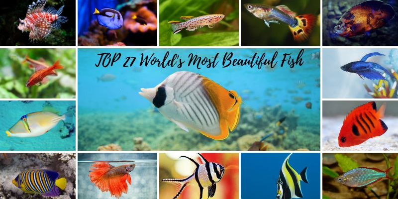 Top 27 World's Most Beautiful Fish