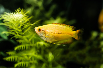 Honey Gourami 1