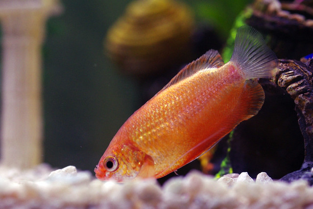 Honey Gourami 2
